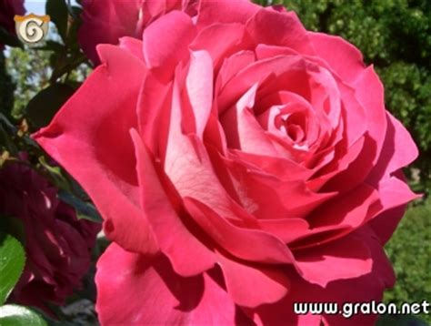 chambre d hote a ajaccio photo fuschia photos fleurs