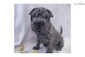 american bulldog breed information breeders lists puppies for sale breeds picture