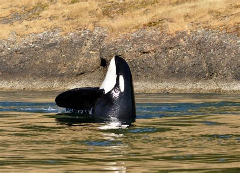Whale Watching Tours San Juan Island