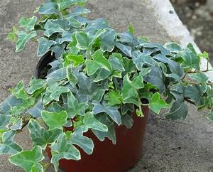 Kübelpflanzen Winterhart Schattig : hedera helix 39 william kennedy 39 efeu pflanzen versand f r ~ Lizthompson.info Haus und Dekorationen