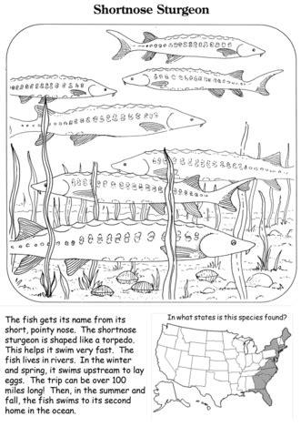 shortnose sturgeon coloring page  printable coloring