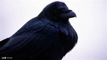 Raven Bird Ravens Birds Baltimore Wallpapers 1080p