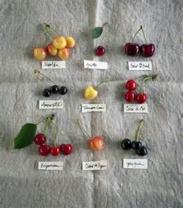 Cherry Tree Types Varieties