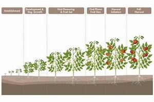 A Beginner U0026 39 S Guide To Growing Tomato Plants