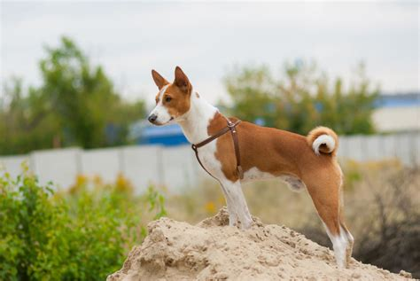 basenji shedding puppy coat which coat type is best for you choosing the right
