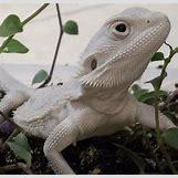 Leucistic Bearded Dragon | 640 x 613 jpeg 50kB