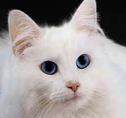 white cats with blue cat news all about cats white and blue eyed cats