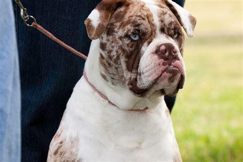 alapaha blue blood bulldog breed information alapaha blue