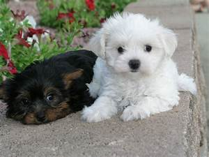 cute puppy pictures | shih tzu puppies | shih tzu puppies ...