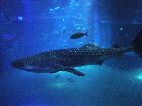 file whale shark at osaka aquarium jpg
