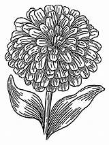 Coloring Pages Flower Marigold Flowers Marigolds Printable sketch template