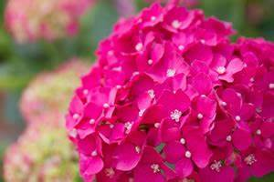Hortensie Endless Summer Standort : hortensie endless summer pflege berwintern und vermehren ~ Lizthompson.info Haus und Dekorationen
