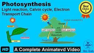 Photosynthesis Light Reaction  Calvin Cycle  Electron