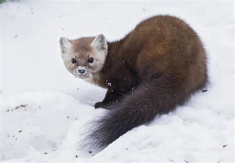 Nature: Marten among mammals that have disappeared from ...