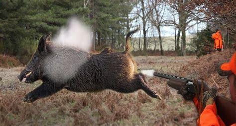 bacon    amazing wild boar shots