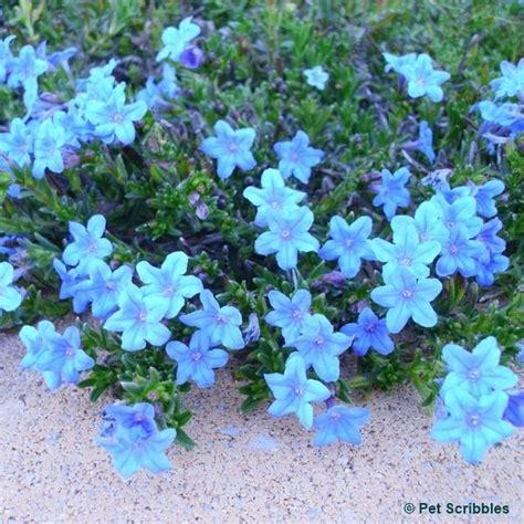 blue ground cover perennials lithodora evergreen perennial with electric blue flowers lawn n garden ideas pinterest