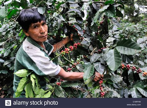 Design for bann vector illustration of woman pickers are harvesting coffee from branches of trees. Farmer harvesting coffee, ecological cultivation, Fair Trade Stock Photo: 35185917 - Alamy