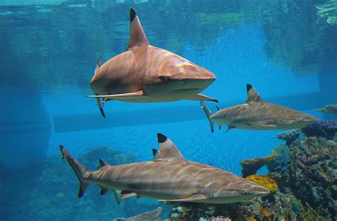 fish fact black tip reef sharks divine diving