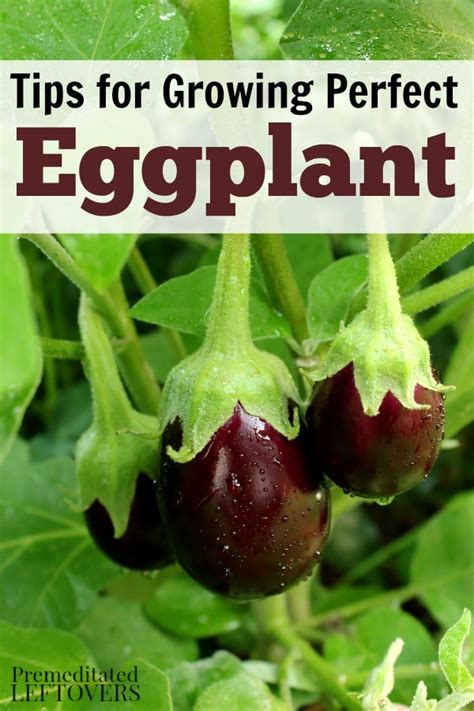 How To Grow Eggplant In Your Garden  From Seed To Harvest