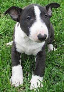 Bull Terrier Dog Breed Information and Pictures
