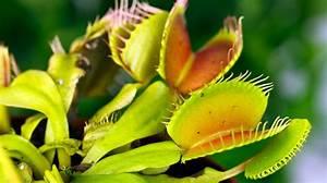 Fleischfressende Pflanze Pflege : fleischfressende pflanzen tipps f r die richtige pflege ~ A.2002-acura-tl-radio.info Haus und Dekorationen
