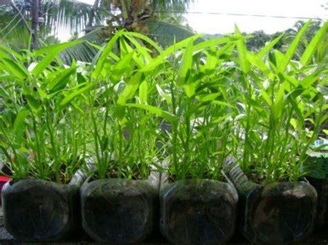 upland water spinach kangkong   bottles  pots