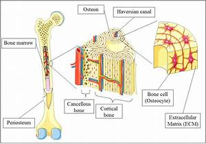 Diagram  Spongy Bone Diagram