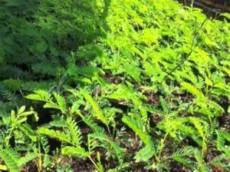 Jual Bibit Collagen Di Makassar jual bibit pohon sengon di makassar sulawesi selatan