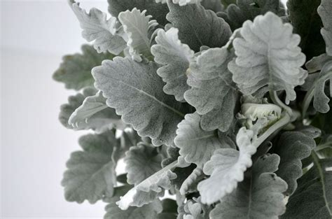 dusty miller dusty miller types of flower and color pallets pinterest bride bouquets grey and bouquets