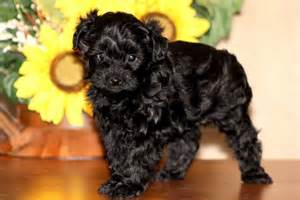 do yorkie poos shed hair information about yorkie dogs breeds picture