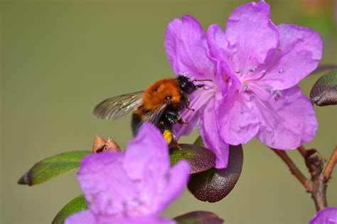 Zied pirmie rododendri | liepajniekiem.lv
