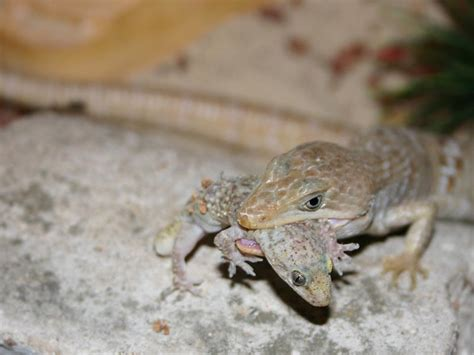 Alligator Lizard Care Sheet