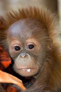 Denver Zoo Helps Orangutan Mother With New Infant  Baby