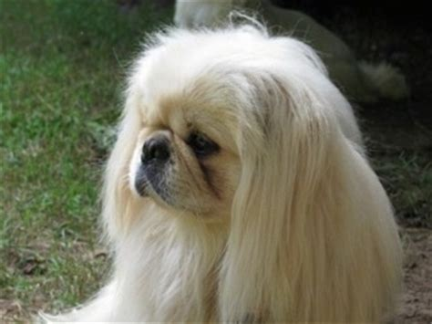 pekingese dog breed pictures