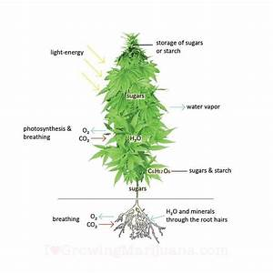 What Is A Cannabis Plant  A Breakdown Of The Anatomy And