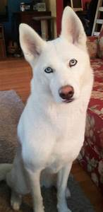 30 best White Siberian Husky images on Pinterest ...