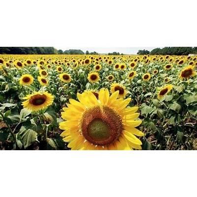 Sunflower Field Florence ALAlabama the Beautiful