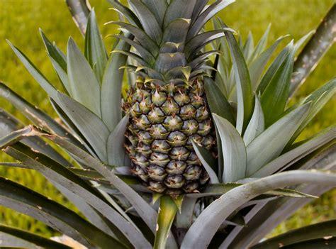 pineapple plant pineapple plants inside nanabread s head