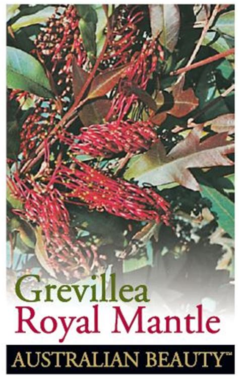 Rayo L Mantle by Grevillea Royal Mantle 175mm Pot Dawsons Garden World