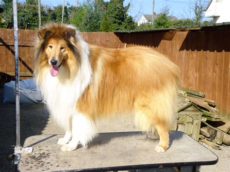 sheltie shedding puppy coat sheltie grooming pictures breeds picture