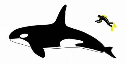 Orca Human Compared Facts Ocean King Whale