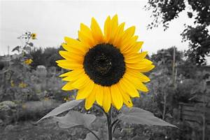 Panoramio - Photo of Sunflower test picture yellow black ...