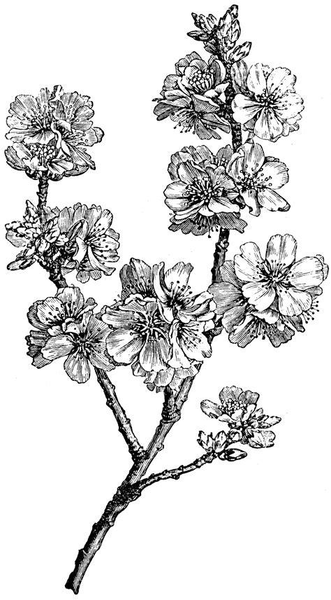 flowering branch  amygdalus communis clipart
