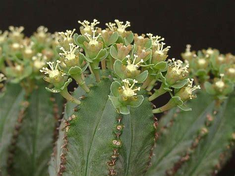euphorbia care euphorbia tubiglans world of succulents