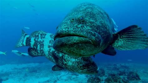 grouper goliath florida aggregation