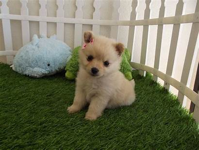 Puppy Puppies Wallpapers Desktop Dogs Background Check