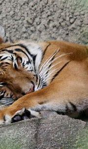 Awwwww   Wild tiger, Endangered animals, Sleeping tiger