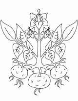 Coloring Plant Kartoffel Ausmalbild Potato Zum Ausmalbilder Kartoffelpflanze Kostenlos Plants Drawing Ausdrucken Colorare Pomme Terre Printable Patate Patato Tutorials Disegno sketch template