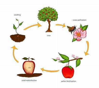 Pollination Cycle Lifecycle Pollen Pollinators Plant Plants