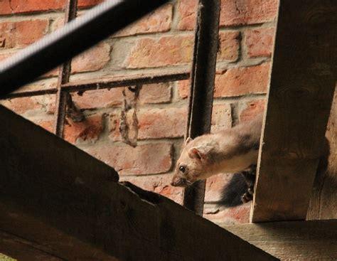 mäuse im haus vertreiben marder vom dachboden vertreiben simple marder vertreiben haus stilvolle im dach was ein